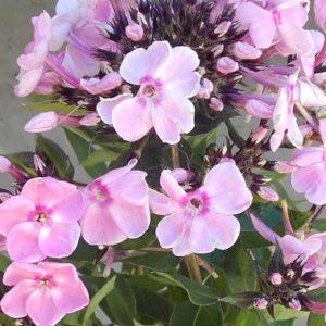 Płomyk wiechowaty Sweet Summer Fantasy (Phlox paniculata)