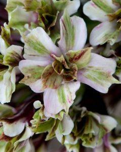 Płomyk wiechowaty Pure Feelings  (Phlox paniculata)