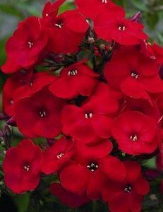 Płomyk wiechowaty Red Flame (Phlox paniculata)