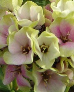 Płomyk wiechowaty Sherbet Blen (Phlox paniculata)