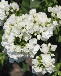 Płomyk wiechowaty Tiara  (Phlox paniculata)