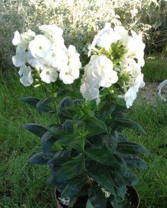 Płomyk wiechowaty Younique White  Phlox paniculata