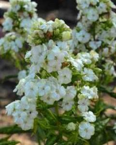 Płomyk wiechowaty Jade  (Phlox paniculata)