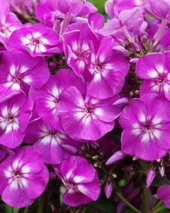 Płomyk wiechowaty Purple Kiss (Phlox paniculata)