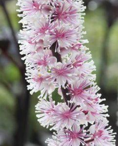 Świecznica, Pluskwica groniasta  Pink Spike  (Cimicifuga racemosa)