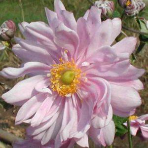 Zawilec mieszańcowy Monte Rose  (Anemone x hybrida)