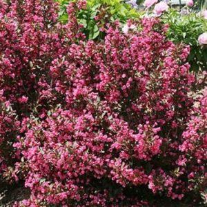 Krzewuszka cudowna 'Nana Purpurea'