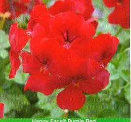 Pelargonia stojąca czerwona duża sadzonka