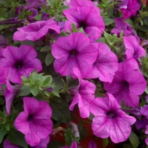 Petunia Conchita Grande Lavender