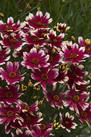 Nachyłek okółkowy  ,Sunstar Rose'