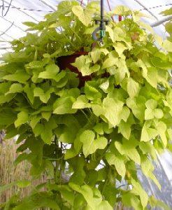 Wilec klapowany  Lime (Ipomea batats) Duża sadzonka