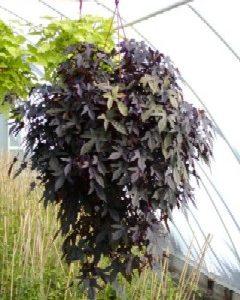 Wilec klapowany  Purple (Ipomea batats) Duża sadzonka (Kopia)