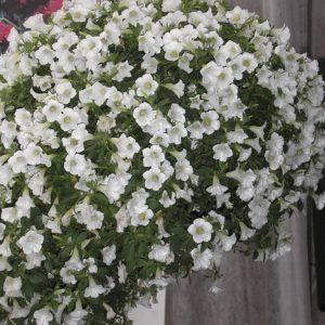 Petunia zwisająca biała (typ surfinia) 10 szt